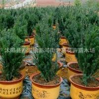 供应沙藏两年红豆杉种子发芽率高