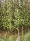 大量批发供应 优良种苗 银杏苗
