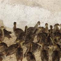 湖北较大的孔雀养殖场 蓝孔雀供应商