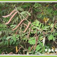 批发灌木种子-短萼灰叶 山毛豆 猪屎豆 金合欢 三维网 无纺布
