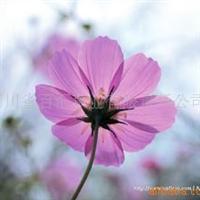 供应四川花卉种子 成都花卉种子 波斯菊种子 批发零售