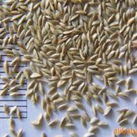 批发零售四川草种高羊茅早熟禾黑麦草成都草种草坪草皮卷
