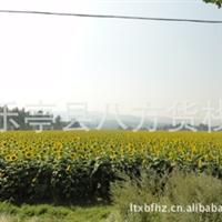 瓜子 向日葵 葵花籽 万亩种植