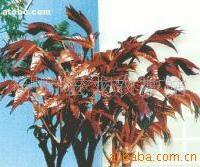 供应红油香椿种子(图)