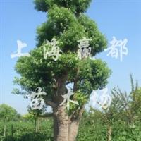 长期批发供应香樟树  欢迎垂询采购洽谈