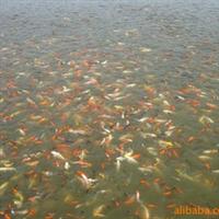 供应 观赏鱼 花鲫鱼 锦鲤鱼 红草鱼(图)