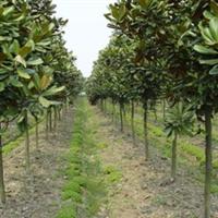 冠幅圆满,树形优美,根系发达,耐寒性强等诸多特点优质的广玉兰