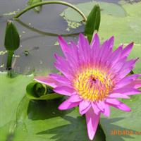 特卖品牌水生花卉-热带睡莲苗