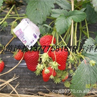 供应浙江衢州红颜草莓苗,本合作社自产自销脱毒二代红颜草莓苗