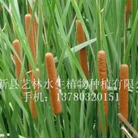 供应湿地绿化种苗香蒲苗