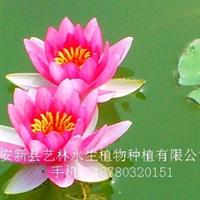 供应水生花卉睡莲苗