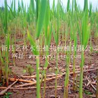 品牌水生植物特卖--锦秀天牌芦苇苗