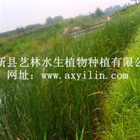 特卖白洋淀品牌水生植物-锦秀天牌香蒲苗