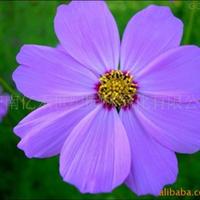 供应地被花卉种子-波斯菊