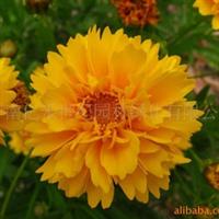 供应花卉种子 地被花卉种子 金鸡菊