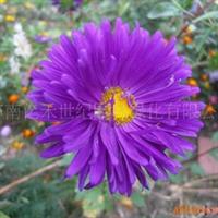 供应 花卉种子 地被草花种子-翠菊