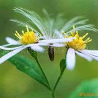 供应草花种子-地被花卉 蒲公英