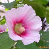供应草花种子-地被花卉 蜀葵