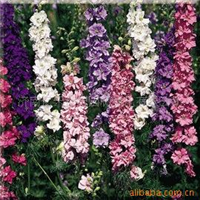 供应园林地被花卉种子 飞燕草