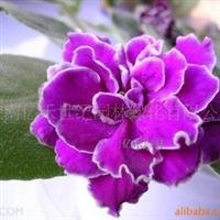 地被花卉种子 盆栽种子 紫罗兰