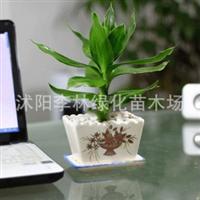 观赏竹类 观音竹 8元/株 水培水生水养办公室内盆栽植物 也可土培