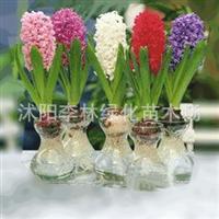 水培植物套装风信子荷兰风信子种球室内较佳花卉小盆栽