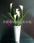 马蹄莲花卉*一帆风顺*净化空气的较佳植物