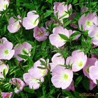 地被花卉种子 美丽月见草