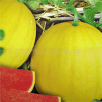 红小玉-小型礼品西瓜