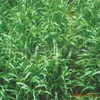 多年生黑麦草种子