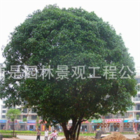 供应8月桂花树,油松,桧柏等特大规格树木