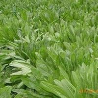 【优质牧草】供应菊苣 叶量大 适口性好
