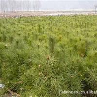 出售草炭土,还出售各种苗木,云杉,樟子松,油松,落叶松