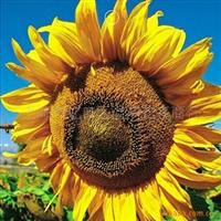 批发供应食用向日葵种子