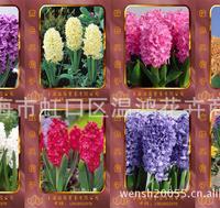 风信子种苗种子种球水培花卉批发供应荷兰进口水培花盆栽风信子
