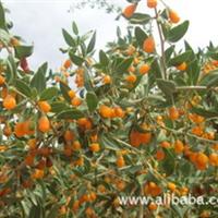 黄果枸杞种苗 1000株 嫩枝扦插