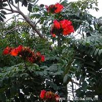 火焰木为(Spathodea campanulata)又名火焰树、苞萼木、火炬树