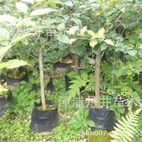 袋苗、盆景、造型三角梅,大红(深红)金斑大红、紫红等品种