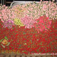 斗南直销大红色 混合色康乃馨批发 鲜花批发 情人节 七夕鲜花