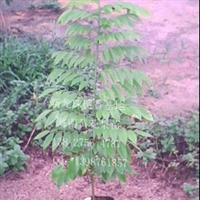 海南黄花梨树苗 (送檀香保水剂)