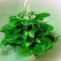 小绿萝吊兰盆栽 能有效吸收室内有毒气体 杭州小植物租摆植物租赁