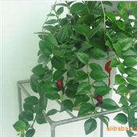 *口红吊兰*家庭居室垂吊观花植物中之佳品 特价销售中!