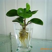 高档室内观叶植物 豆瓣绿 水培植物 四季常青 碧玉