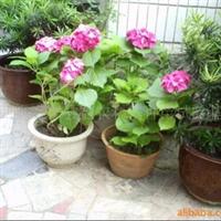 八仙花(绣球花)5元/株