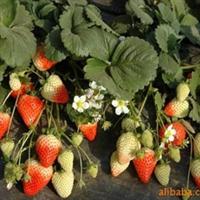 供应/内蒙古呼和浩特包头/丰香草莓苗红颜草莓苗