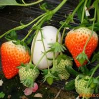 供应黑龙江双鸭山地区雪蜜草莓苗