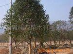 专供中国桂花树