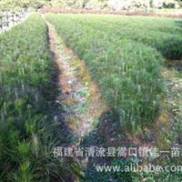 福建湿地松苗/一年生湿地松苗/供应湿地松苗/湿地松苗