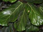 橡皮树 琴叶榕 室内观叶植物
