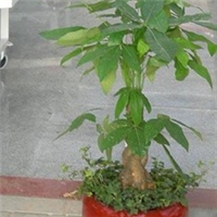 花卉 盆栽 植物 绿色植物 小发财树 小盆景